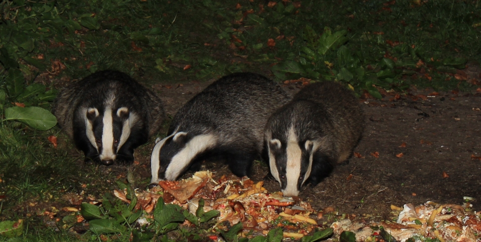 Watch the badgers feeding every night