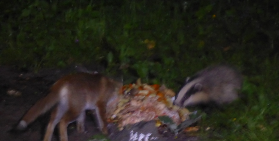 A fox and a badger